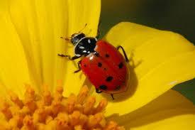 spirit of the ladybug catnipoflife