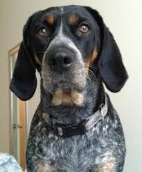 lifespan of a bluetick coonhound blue tick hound photo bluetick coonhound information pictures