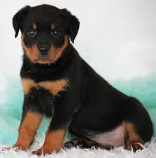 belgian sheepdog breeders ontario rottweiler puppies for sale