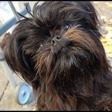 affenpinscher with underbite 17 best images about evie on pinterest dog harness gifts for