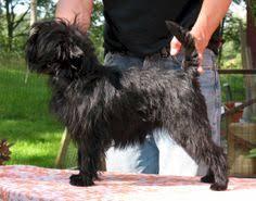 affenpinscher maltese mix view affenpinscher dog images pet dog breeds affenpinscher