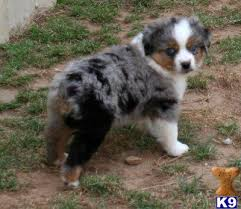 australian shepherd mini puppy miniature aussies for sale in texas texas miniature australian