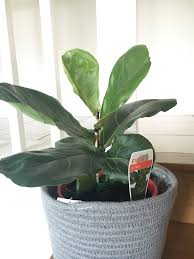 growing and pruning your fiddle leaf fig