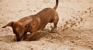 Dog Burial Backyard Why Dogs Bury Things Cesar U0027s Way