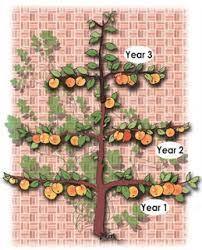 148 best fruit trees images on pinterest fruit trees gardening