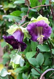 Purple Flower On A Vine - top 9 annual blooming vines that climb with gusto