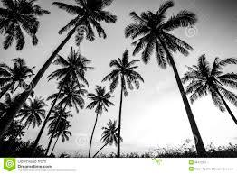 black and white photo of palm trees stock photo image 39472315