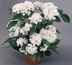want delightful flowers in summer grow pentas indoors in a