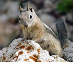 golden mantled ground squirrel wikipedia