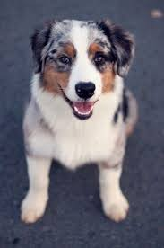 australian shepherd lab mix puppy 178 best australian shepherd images on pinterest australian