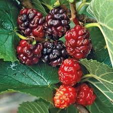 russian mulberry direct gardening