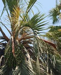 Canopy Synonyms by Butia Capitata Identifying Commonly Cultivated Palms