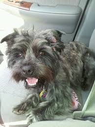 brindle cairn haircut 16 best bella images on pinterest yorkie yorkies and yorkshire