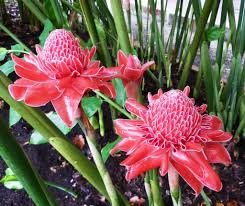 spectacular gingers u0026 other amazing exotic plants rare plants torch ginger plant remodel the hi house pinterest ginger