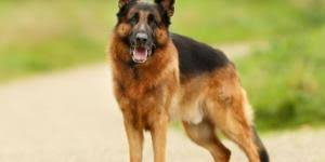 belgian sheepdog brown differences between german shepherd and belgian shepherd dogs