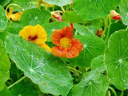nasturtium flowers nasturtiums cool season annual flowers