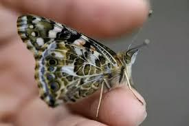 how many do butterflies quora