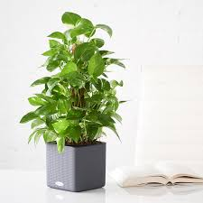 philodendron heartleaf philodendron plant delivery shop online my city plants