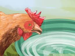 Can I Raise Chickens In My Backyard How To Keep Chickens In A City 15 Steps With Pictures Wikihow
