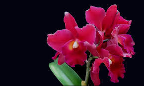 Red Orchids Olympic Orchids Perfume The Original Boutique