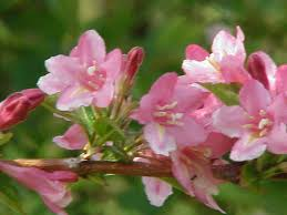 Japanese Lantern Plant Japanese Landscaping Plant Guide Your Plants Are Used For