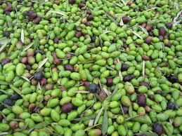 italian olives file italian olives jpg wikimedia commons