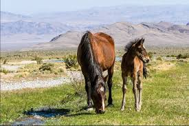 Nevada wildlife tours images 9 stunning places you can see wild horses in nevada only in your jpg