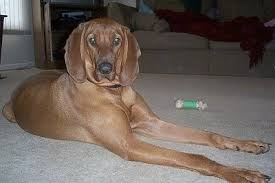 is a bluetick coonhound a good pet redbone coonhound dog breed information and pictures