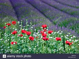 poppies and lavender field jardin du soleil washington stock