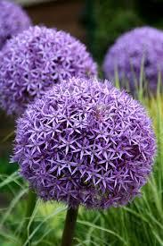 buy ornamental bulbs allium globemaster delivery by