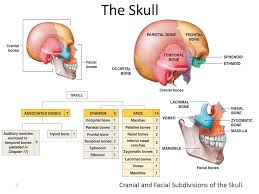 Bones That Form The Cranium The Skull The Human Skull Is The Bony Structure That Forms The
