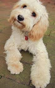 haircutsfordogs poodlemix 35 best goldendoodle haircuts images on pinterest blog bubbles