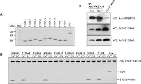 ca2 s100 proteins inhibit the interaction of fkbp38 with bcl 2