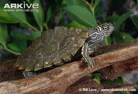 map turtle cagle s map turtle photos and facts graptemys caglei
