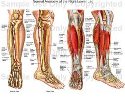 Interactive Muscle Anatomy Human Anatomy Diagram Interactive Guide Human Leg Anatomy Human