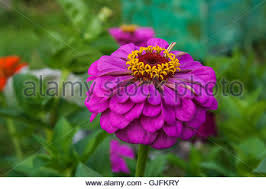 Zinnia Flowers Zinnia Flower In The Garden Close Up Stock Photo Royalty Free