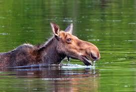 Vermont wild animals images Willoughvale inn vermont natives jpg
