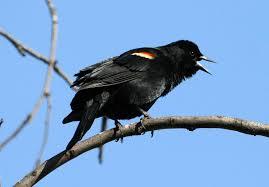 Ohio Birds images Blackbird deaths in arkansas alert the world to the many hazards jpg