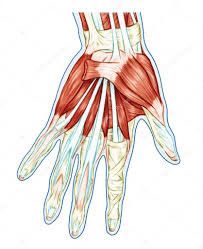 Anatomy Of Shoulder Muscles And Tendons Anatomy Of Muscular System U2013 Hand Palm Muscle Tendons