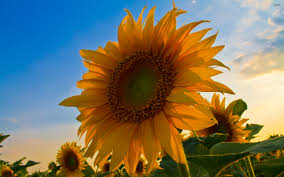 sunflower wallpapers sunflower wallpaper 2017 grasscloth wallpaper