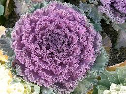 brassica oleracea ornamental kale mix heirloom perennial ltd