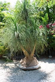 large ponytail specimen palm tree resort type palm trees buy
