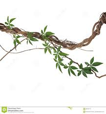 twisted big jungle vines with leaves of wild morning glory liana