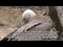 Seeking Vulture Griffon Vulture Gyps Coprotheres