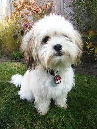 affenpinscher maltese mix havanese dog breed information pictures characteristics u0026 facts