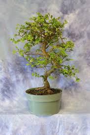 bonsai saule pleureur les 20 meilleures idées de la catégorie pre bonsai sur pinterest