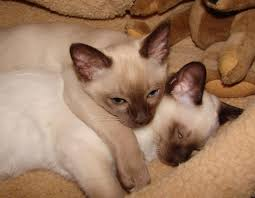 10 cat breeds that love to snuggle iheartcats com