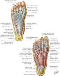 Anatomy Of The Calcaneus Plantar Heel Pain Medical Clinics