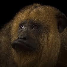 howler monkeys national geographic