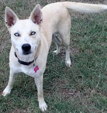 belgian sheepdog rescue texas austin tx husky meet tulip a dog for adoption